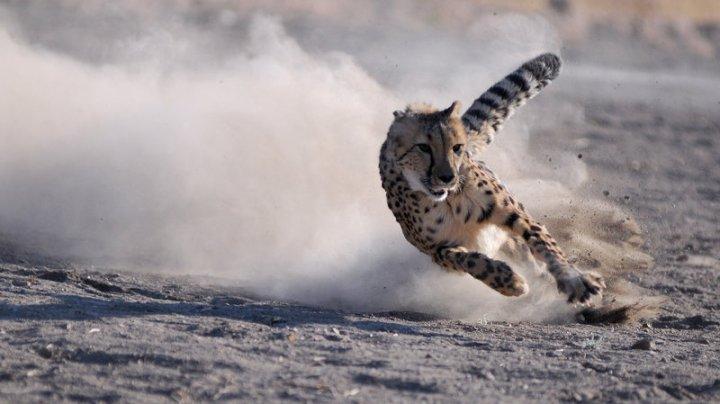 cheetah_wide-f42a6e5ad2923df617129e2671cf07b279a30d6d-s800-c85