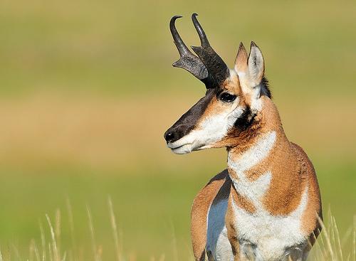 Pronghorn-Male